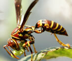Wasps Facts